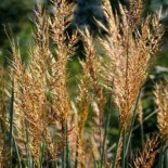 Sorghastrum nutans 'Indian Steel'