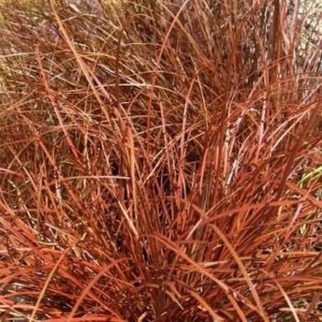 Uncinia egmotiana - (Cypéracées)
