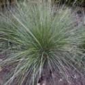 Muhlenbergia