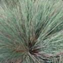 Corynephorus