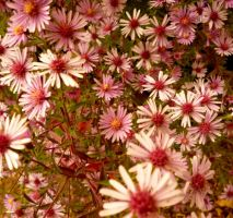 Aster laterifolius 'Pink Prelude'