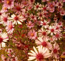 Aster laterifolius 'Pink Prelude'