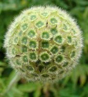 Cephalaria alpina (graines)