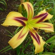 Hemerocallis 'Free Wheelin'