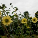 Helianthus x 'Sheila Sunshine'